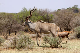 picture of bosveld  - Large Kudu Bull Walking in a Nature Conservation Area - JPG