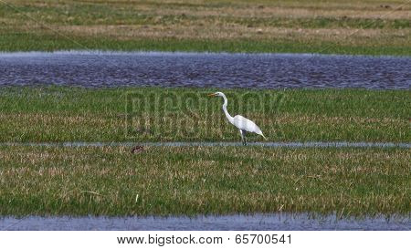 Egret In The Grasslands