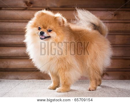 Portrait Pomeranian Dog