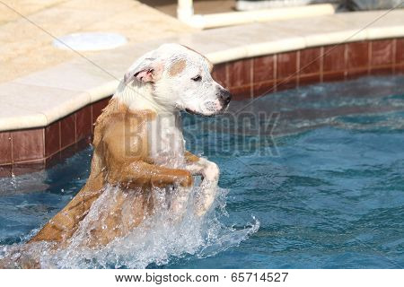 Dog jumping in the pool
