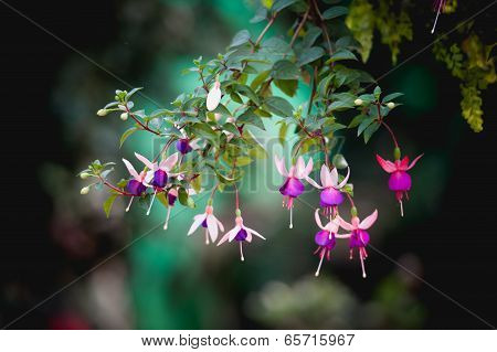 Fuchsia Flower Or Lady's Eardrops On Angkhang Mountain, Chiangmai, Thailand