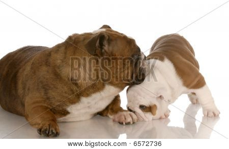Bulldog Mom And Puppy