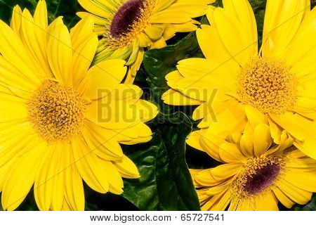 Bouquet of yellow marguerites
