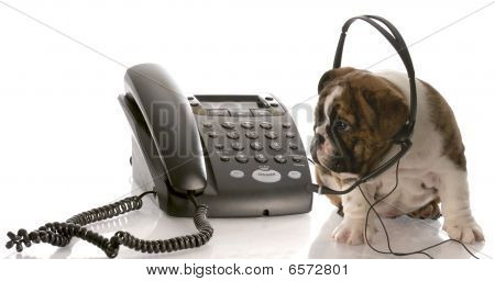 Bulldog Puppy Talking On Phone