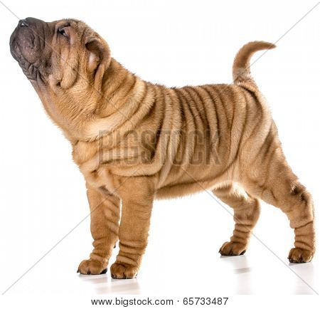 chinese shar pei puppy standing wagging tail isolated on white background