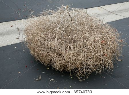 """A Genuine Tumble weed aka """"Salsola"""" """"Saltwort or Russian thistle"""" sits on a black top road. Tumble Weeds get their name from rolling across fields in the wind due to their round shape."""