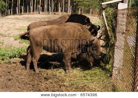 Bison Bonasus, Wisent, European Bison