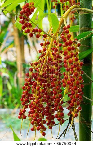 Tropical palm fruits red berries