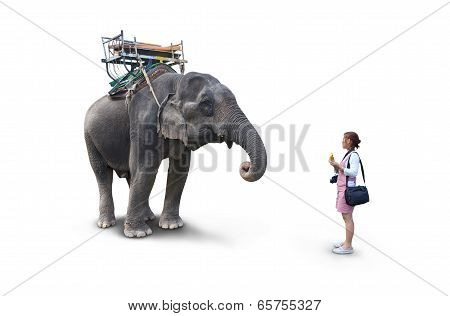 Woman Feeding The Elephant Bananas On White Background