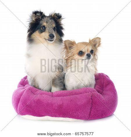 Shetland Puppy And Chihuahua
