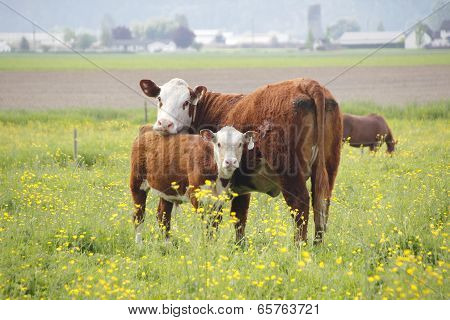 Dairy Cow and Her Calf