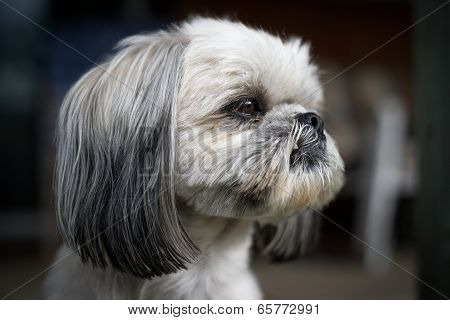 Closeup Of The Face Of A Shih Tzu Dog