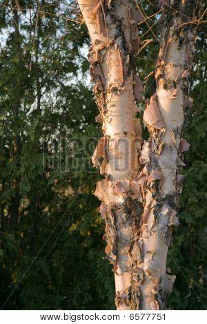 American White Birch