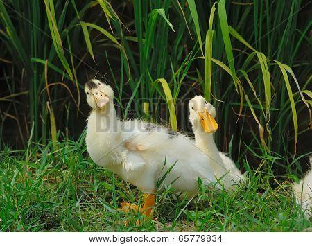 cute ducks standing on rice field