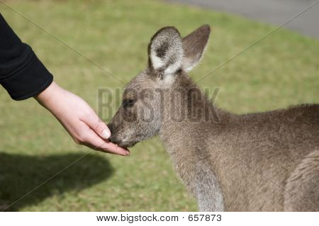 Feeding The Kangaroos At Australia Zoo