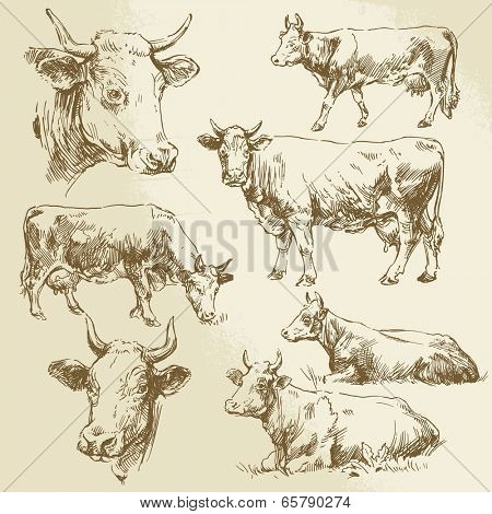 cow, cows, farm animals