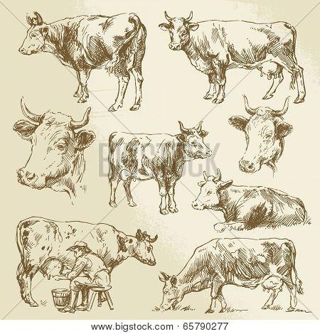 cow, cows, farm animals