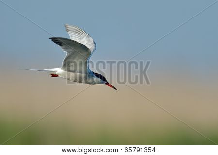 common tern (sterna hirundo) in natural habitat
