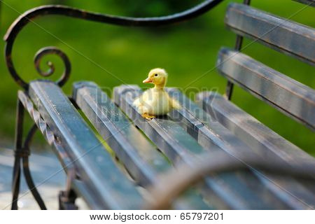 Little cute duckling on bench in the park