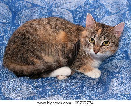 Tricolor Cat Lies On Blue
