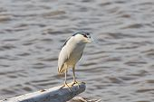 ������, ������: Watchful Black crowned Night Heron