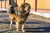 foto of tibetan  - Tibetan Mastiff stands on a dirt road on a sunny day - JPG