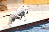 stock photo of spotted dog  - A white dog with spots jumping off the side of the pool - JPG