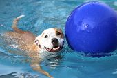 stock photo of swimming  - A dog swimming with his ball in the pool - JPG