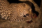 stock photo of vicious  - Hungry leopard eat a dead prey in tree at night