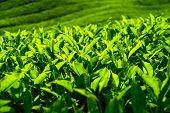 stock photo of malaysia  - Tea plantation in Cameron highlands - JPG