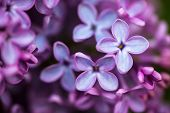 foto of lilac bush  - Closeup of beautiful and delicate spring lilac flowers