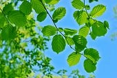 picture of alder-tree  - Alder leaves against the blue sky and tree