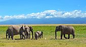 picture of kilimanjaro  - Kilimanjaro elephants in Amboseli National Park Kenya - JPG