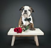 foto of english rose  - Sweet Bulldog puppy wearing a bow tie with a single red rose on a black background. ** Note: Visible grain at 100%, best at smaller sizes - JPG