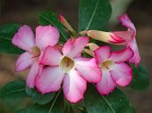 stock photo of desert-rose  - close up pink desert roses blossom branch