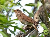foto of nightingale  - Thrush Nightingale resting on a branch in its habitat - JPG