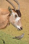 stock photo of antelope horn  - Addax  - JPG