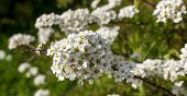 pic of meadowsweet  - Delicate blossoms Spirea Vangutta - JPG