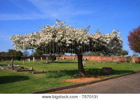 Blossom in the Churchyard