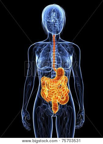 highlighted digestive system