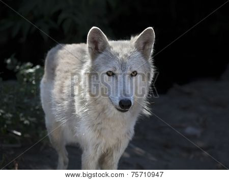 Closeup portrait of a polar wolf female with yellow eyes.