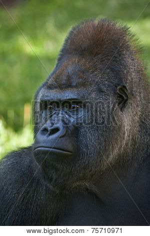A gorilla male silverback leader of monkey family on sunlit green background.
