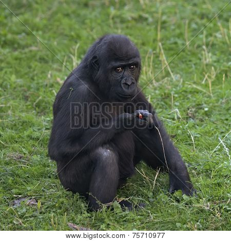 A side portrait of a young gorilla male sitting on the grass.
