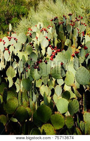 Prickly Pear With Fruit