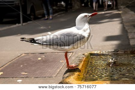 Closeup Of Parched Seagull Drinking From Man-made Water Fountain With Urban Background