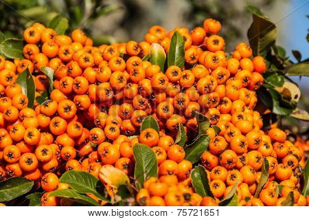 The orange berries of Pyracantha