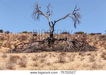 Lonely Dead Tree In An Arid Landscape