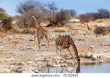 Giraffa Camelopardalis Drinking From Waterhole In Etosha National Park
