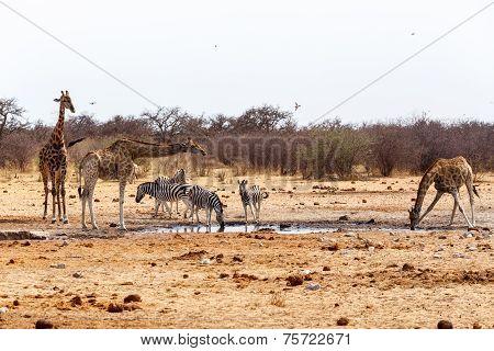 Giraffa Camelopardalis And Zebras Drinking On Waterhole