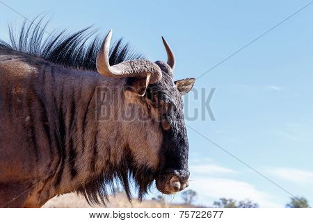Portrait Of A Wild Wildebeest Gnu